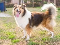 Dog, shetland sheepdog, collie Stock Photo