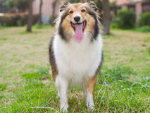 Dog, shetland sheepdog, collie Royalty Free Stock Photos