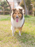 Dog, shetland sheepdog, collie Stock Photography