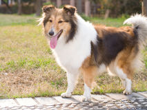 Dog, shetland sheepdog, collie Royalty Free Stock Photo