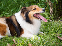 Dog, Shetland sheepdog, collie, sheltie. Stock Image