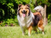 Dog, Shetland sheepdog, collie, sheltie. Royalty Free Stock Photography