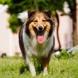 Dog, Shetland sheepdog, collie, sheltie. Stock Photography
