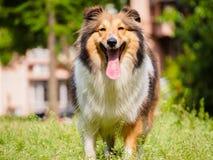 Dog, Shetland sheepdog, collie, sheltie. Stock Photos
