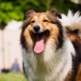 Dog, Shetland sheepdog, collie, sheltie. Royalty Free Stock Photo