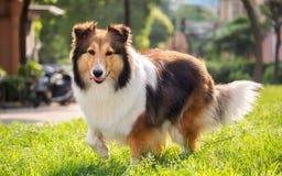 Dog, Shetland sheepdog, collie, sheltie. Stock Images