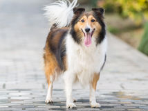 Dog, Shetland sheepdog, collie. Stock Photography