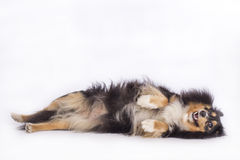 Dog, Shetland Sheepdog Stock Photography