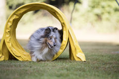 Dog, Shetland Sheepdog, running through agility tunnel Royalty Free Stock Photography