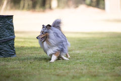 Dog, Shetland Sheepdog, running on grass Royalty Free Stock Photo