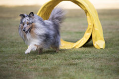 Dog, Shetland Sheepdog, Sheltie, agility Royalty Free Stock Photography