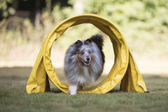 Dog Shetland Sheepdog, Sheltie, running in agility tunnel Royalty Free Stock Image