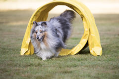 Dog, Shetland Sheepdog, Sheltie running through agility tunnel Stock Images