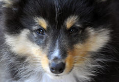 Dog - Shetland Sheepdog. Tri-color Shetland Sheepdog close-up Stock Images