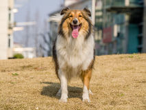 Dog, Shetland Sheepdog waiting to play Royalty Free Stock Photo
