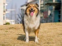 Dog, Shetland Sheepdog waiting to play Royalty Free Stock Photo