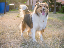 Dog, Shetland sheepdog Royalty Free Stock Photography
