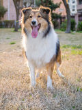 Dog, Shetland sheepdog Stock Photo