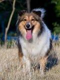 Dog, Shetland sheepdog waiting to play on grass. In sunshine Stock Images