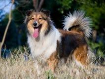 Dog, Shetland sheepdog waiting to play on grass. In sunshine Stock Photography