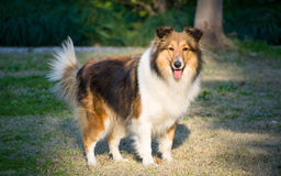 Dog, Shetland sheepdog waiting to play on grass. In sunshine Royalty Free Stock Images