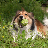 Dog, Shetland sheepdog Stock Photo