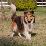 Dog, Shetland sheepdog Royalty Free Stock Photos