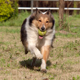 Dog, Shetland sheepdog Stock Photos