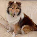 Dog, Shetland sheepdog Royalty Free Stock Photos
