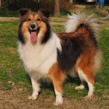 Dog, Shetland sheepdog Royalty Free Stock Photo