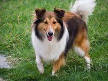 Dog, Shetland sheepdog Stock Images