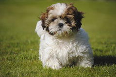 Dog Shi-Tzu Royalty Free Stock Photos