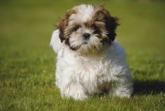 Dog Shi-Tzu. Shi-Tzu dog running on grass surface Royalty Free Stock Photos