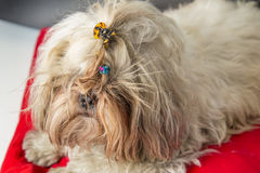 Dog shi tzu portrait Royalty Free Stock Photos