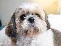 dog shi tzu stock photo