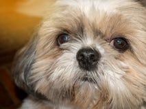 dog shi tzu stock photos