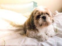 dog shi tzu royalty free stock photos