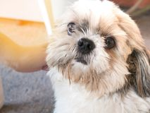 Dog shi tzu. Shih Tzu In the home Be loved by the owner A real friend Have a habit of cheerful stock photo