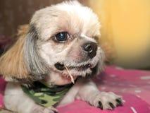 dog shi tzu royalty free stock photo