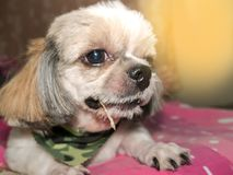 Dog shi tzu. Shih Tzu Royalty Free Stock Photo