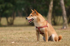 The dog of Shiba. The is a Shiba dog Royalty Free Stock Images