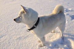 Dog Shiba Inu Royalty Free Stock Photos