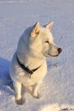 Dog Shiba Inu Stock Photos