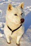 Dog Shiba Inu Stock Photography