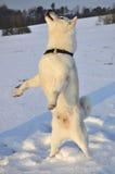 Dog Shiba Inu Stock Photo