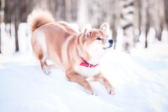 Dog of the Shiba inu breed sat down for a jump against the backd Royalty Free Stock Images