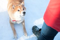 Dog of the Shiba inu breed sat down for a jump against the backdrop of a winter forest. stock image