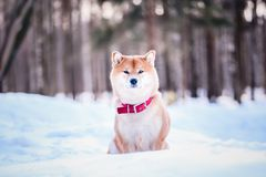Dog of the Shiba inu breed sits on the snow on a beautiful winter forest background royalty free stock image