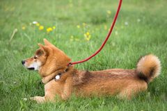 Dog shiba inu lying in the grass with an exercise not moving stock photo