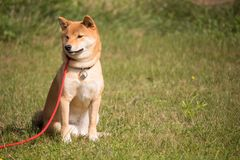 Dog shiba inu sitting in a red leash Royalty Free Stock Photos